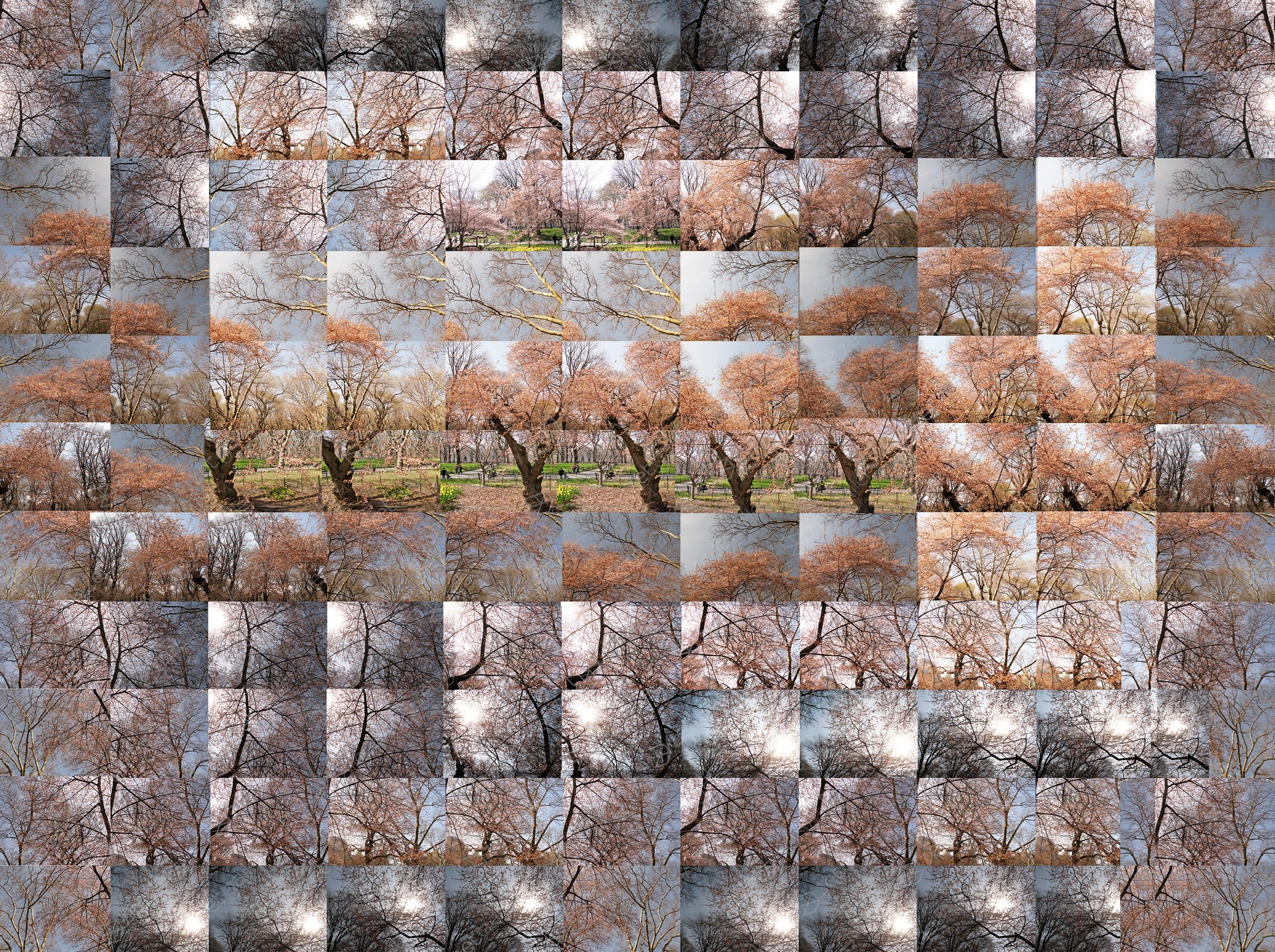 Spring - A Stroll By The Okame Cherry Tree, original Nature Digital Photography by Shimon and Tammar Rothstein
