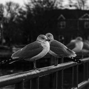 Seagulls On The Fence, Sheepshead Bay, New York City (2019-12-GNY-60), original B&W Digital Photography by Vlad Meytin